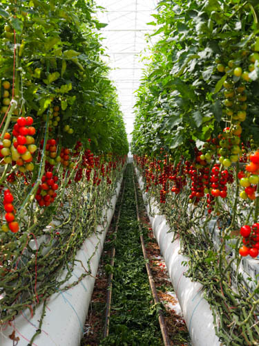 DECOUVERTE Tomates garanties zéro résidus de pesticides Rougeline
