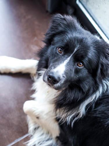 Mon chien Mougly un border collie