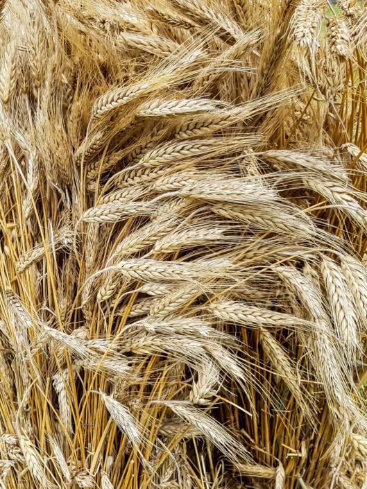culture de céréales bio